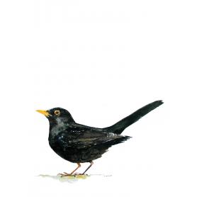 Animals Bird - Blackbird