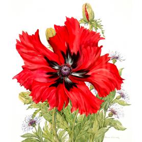 Dark Red Poppy And Centaurea